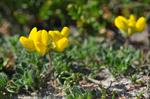 Common Bird´s-foot Trefoil (Lotus corniculatus)